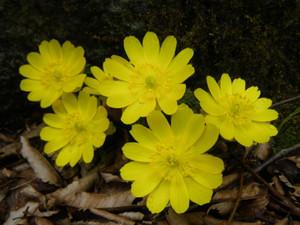 3月の花・福寿草