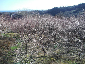 三浦半島のお花が咲き始めそうです!